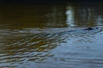 Swamp Croc