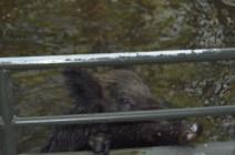 Swamp Hog
